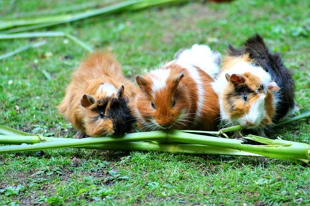 Morčatá žerú zeleninu.jpg
